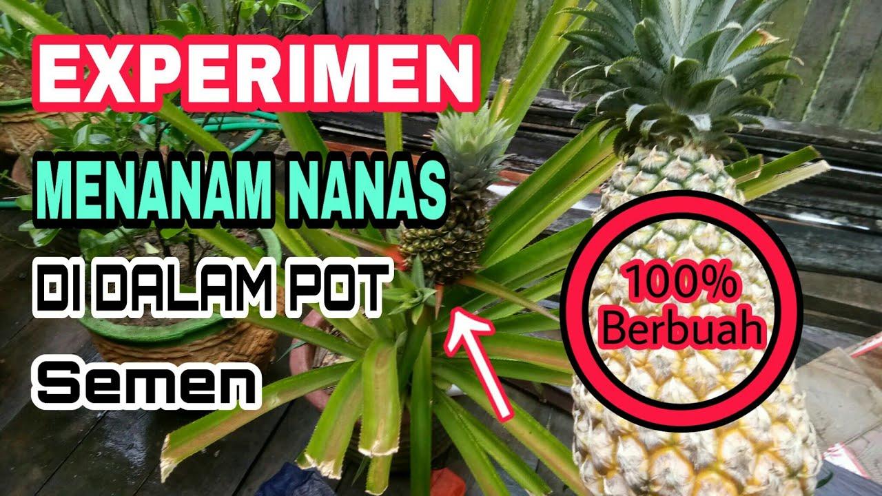 Experimen Menanam Nanas Di Pot Semen