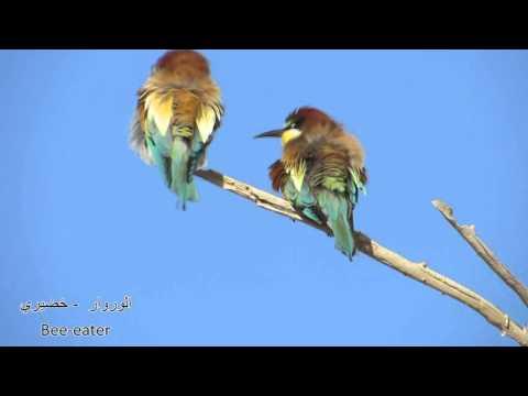 Birds of Kuwait - شرقاوي عتيج