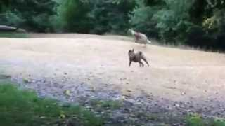 Whippet And Staffordshire Bull Terrier Cross Having A Wicked Chase