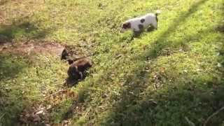 Dog Chasing Cute Baby Wombat