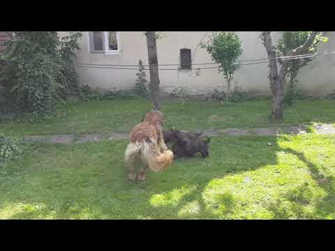 Leonberger puppies playing creative commons