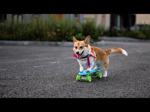 Корги на скейтборде