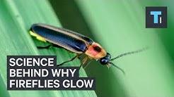 Science Behind Why Fireflies Glow
