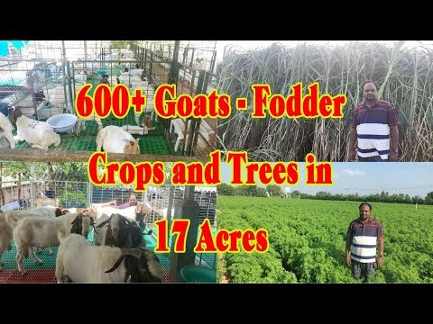 600+ Goats In 17 Acres For Fodder Crops And Trees