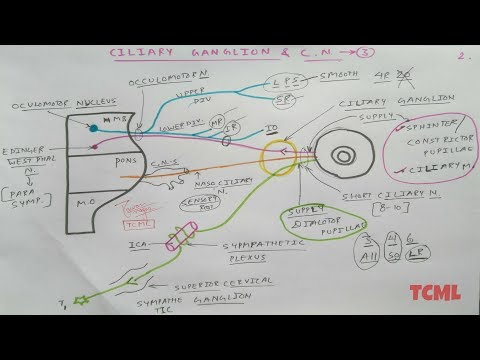 Ciliary Ganglion and Oculomotor Nerve - 2/2 - YouTube