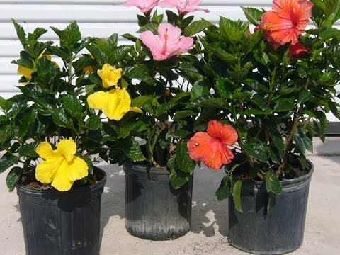 Steps To Grow A Dwarf Bonsai Hibiscus In Your Garden Youtube