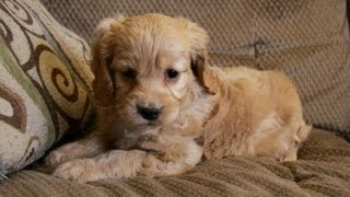 Sweet Female Cockapoo Puppy For Sale In Ontario