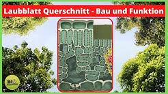 Laubblatt Querschnitt Bau und Funktion - Organ der Fotosynthese