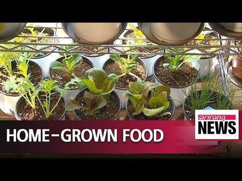 Korea boosting interest in home gardening by providing ginseng seedlings