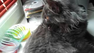 Кошка мейн-кун Магдалена (6 мес) набегалась и дышит ртом