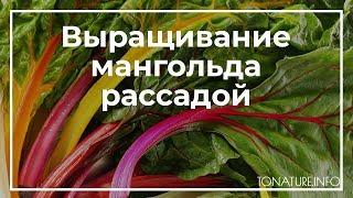 выращивание мангольда рассадой  toNature.Info