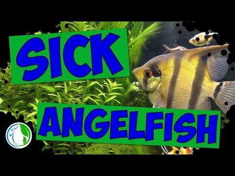 My Sick Angelfish!  🐠 💦