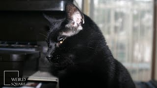 INTERESTING FACTS about bombay CAT | American Bombay cat and the British Bombay Cat