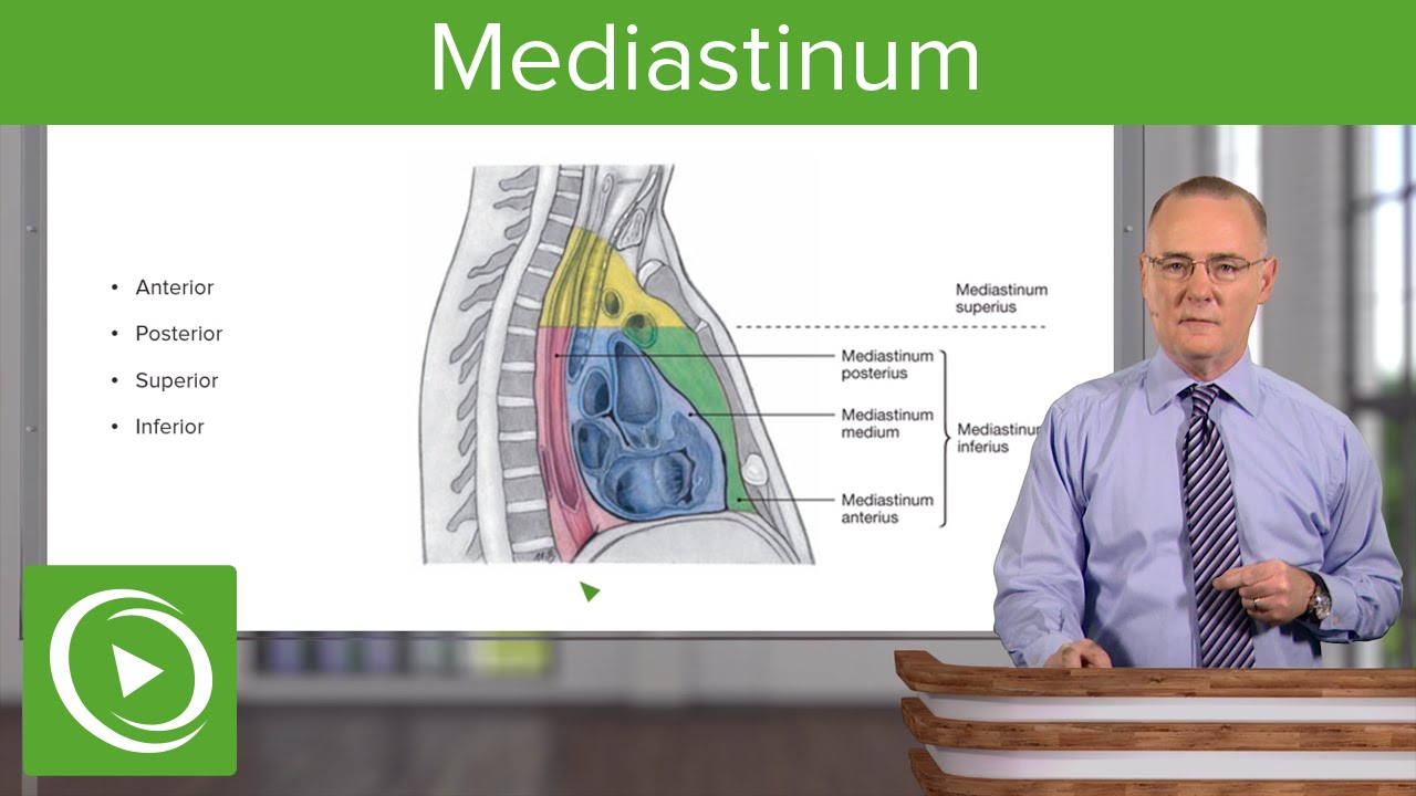 Mediastinum: Lungs, mediastinum and cardiac valves – Anatomy | Lecturio