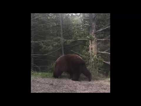 Yellowstone Grizzly Bear-Mom gets scared!!!