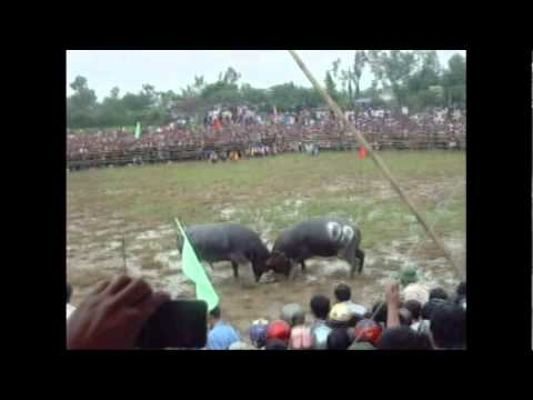 Video toan canh le choi trau o xa Nghi Thai, Nghi Loc, Nghe An