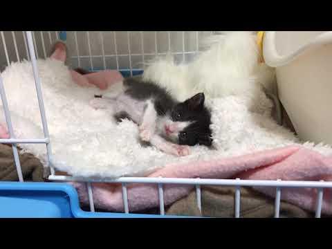 こっちおいでをする子猫がかわいい  Can you please come here?