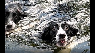 English Springer Spaniels Jump In The Lake