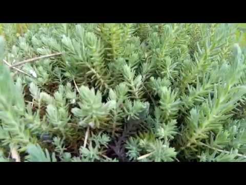 Очиток скальный (седум скальный, очиток отогнутый) - травянистое многолетнее вечнозелёное растение