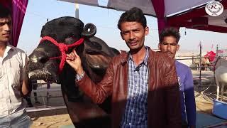 भीम बुल भैंसा की विशेषताओं के बारे में जाने, Know about the features of Bheem Bull buffalo