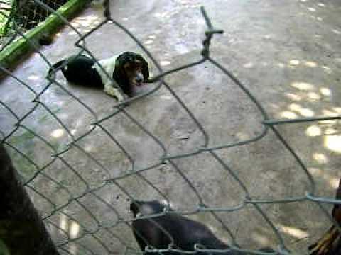 Trại chó Hòa Nguyên: Basset vs Rott