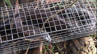 Bẫy rắn trúng rắn hổ mang hổ đất miền nam cực độc