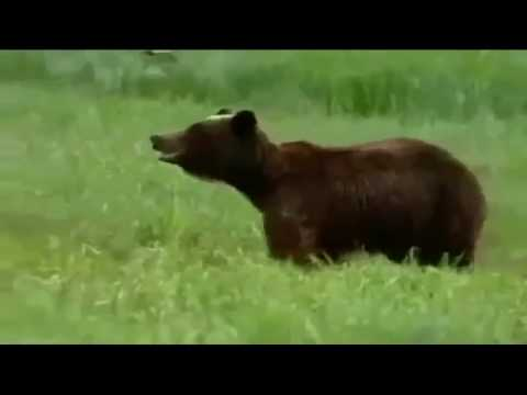 Documentary Bears 2017 HD - Animal Planet Wild life Bear Attack