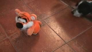Тигр щенок и равнодушный кот. Tiger puppy and indifferent cat.