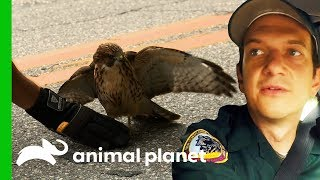 Conservation Officer Rescues Blind Hawk From Busy Road   North Woods Law