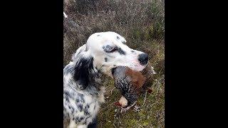 vuclip New black francolin hunting || Teetar hunting || Black Partridges Hunting