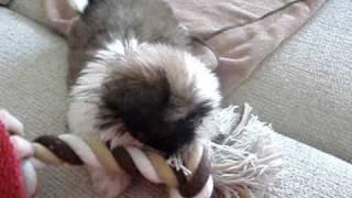 10 Week Old Shih Tzu Cross Bichon Playing With Rope!!