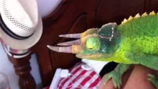 Rango my Jackson Chameleon- Camaleón