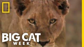 Teaser Trailer | Big Cat Week