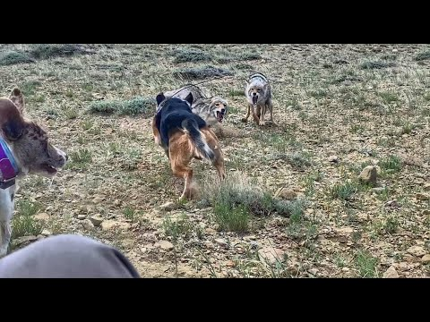 Coyote Hunting with Wyoming Predator Hunts LLC