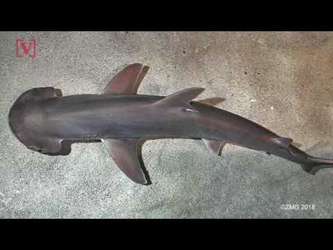 The World's First Known Omnivorous Shark Munches On Seagrass