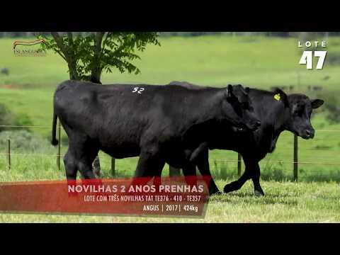 LOTE 47 - Novihas prenhas TAT TE376 - 410 - TE357
