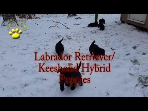 Labrador Retriever/Keeshond Hybrid Puppies