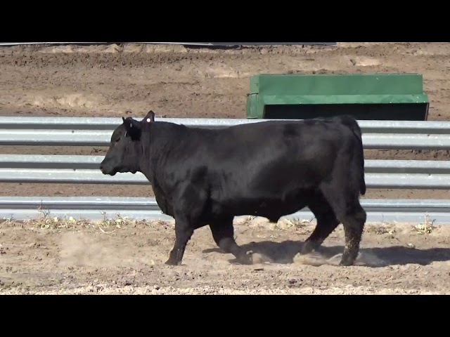 Connealy Angus Lot 84