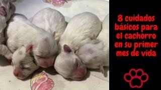 Los cuidados del cachorro en el primer mes de vida.coton de tulear