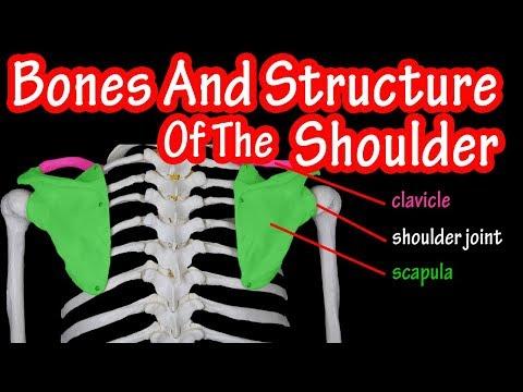 Bones Of The Shoulder Joint - Bones Of The Shoulder Girdle - Where Is The Scapula Bone