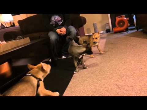 Half pitbull half husky puppies fighting