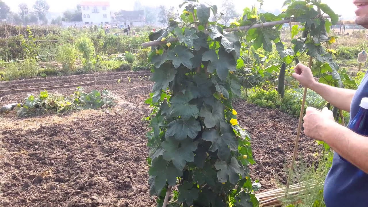 Huerto luffa cil ndrica esponja vegetal natural youtube - Esponja natural vegetal ...