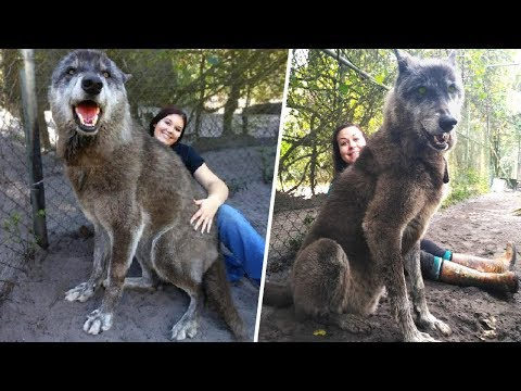 A Shelter Saved This Giant Wolfdog, Then a DNA Test Showed Why It Was So Big