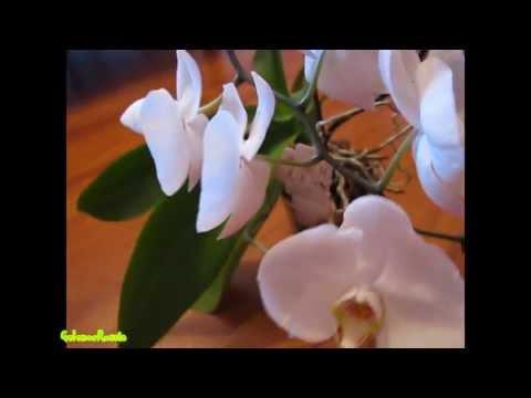Как я заставила цвести орхидею. Phalaenopsis