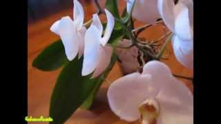 Смотреть видео чтобы орхидея зацвела заново зимой