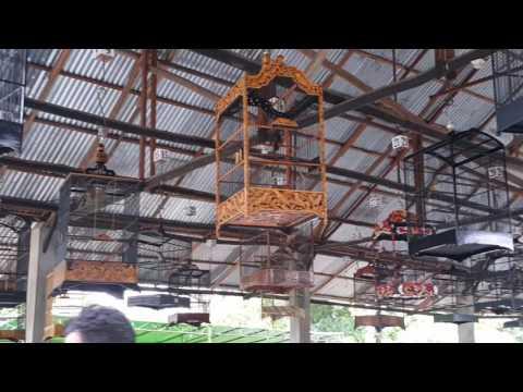 Lomba Burung Cucak Jenggot atau Kapas Tembak | West Borneo Coffee Cup I