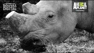 ¿Por qué se están extinguiendo los rinocerontes? - Biósfera Digital