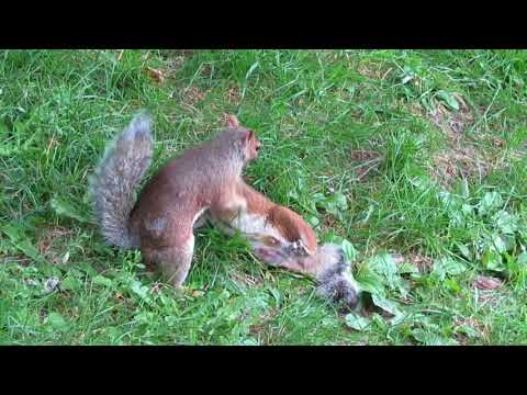 Squirrels fight in Montréal, Canada