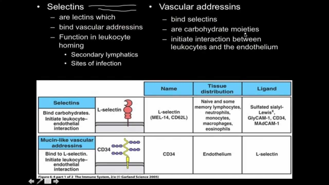 Immunology: innate immunity the Cell Adhesion Molecules - YouTube