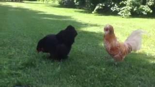 Ma nouvelle poule brahma.